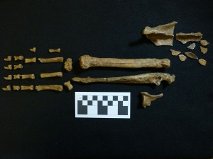 Wolf bones from Feature 5